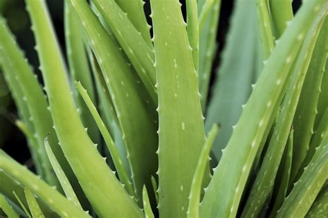 bug resistant cactus plants mosquito protection alternatives to deet essential oils mosquito bites west nile virus