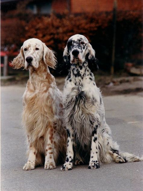 female english setter dog names 25 best ideas about english setters on pinterest
