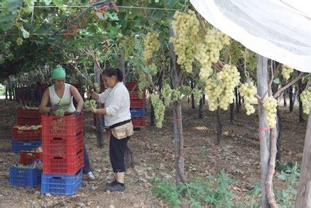come coltivare l uva da tavola impianto a spalliera uva da tavola