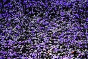 purple ground cover photo zenmatt photos at pbase com