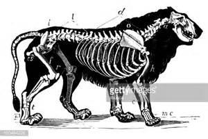 Lion skeleton stock illustration getty images
