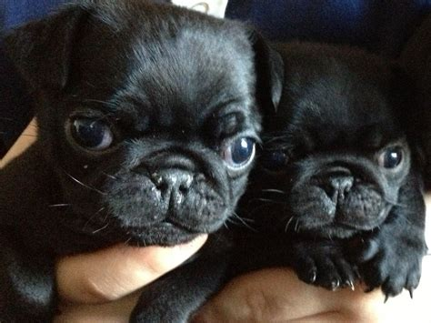black and pugs for sale black pug puppies for sale ferryhill county durham pets4homes