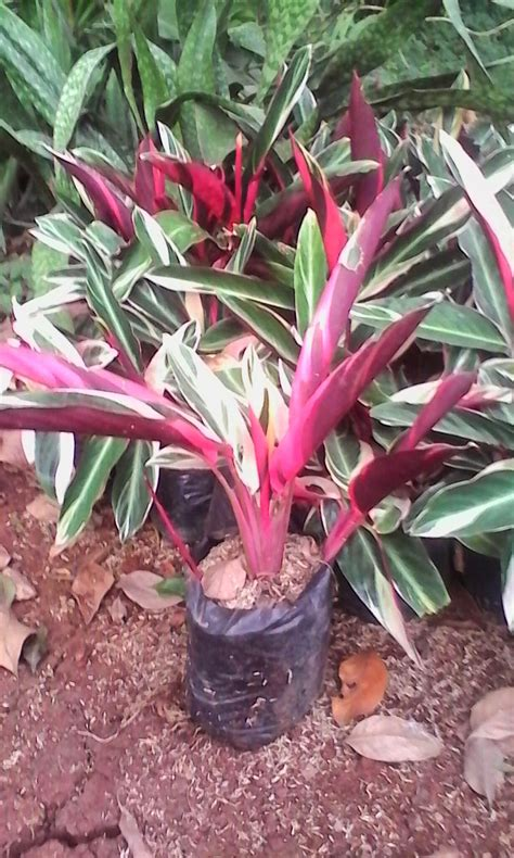 tanaman hias meranti murah meranti bali merah tukang