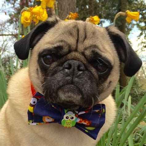 pugs as therapy dogs pug festival is coming to birmingham this weekend birmingham mail