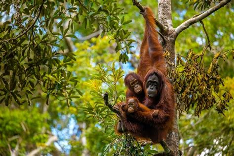 Nature Stek Malaysia a river cruise through borneo to hang with orangutans wsj