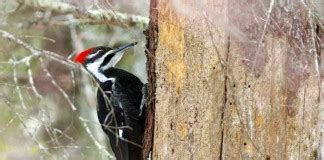 woodpeckers archives joy of animals