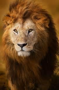 imagenes de leones juntos para perfil whatsapp hoy d 237 a de el le 243 n somosvoz