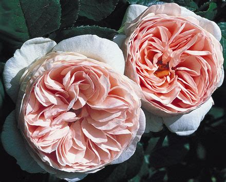 David Roses Sale Growing Care Information Thornless Roses
