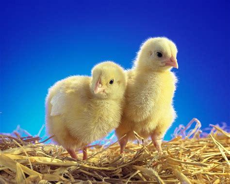 imagenes animales jpg im 225 genes de pollitos beb 233 s lindos
