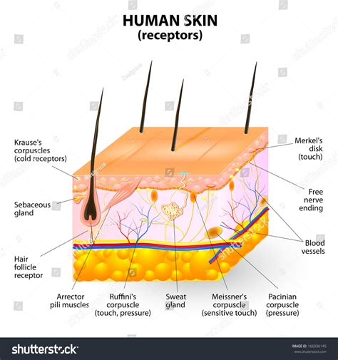 cross section skin human skin layer cross section stock photo 166036145