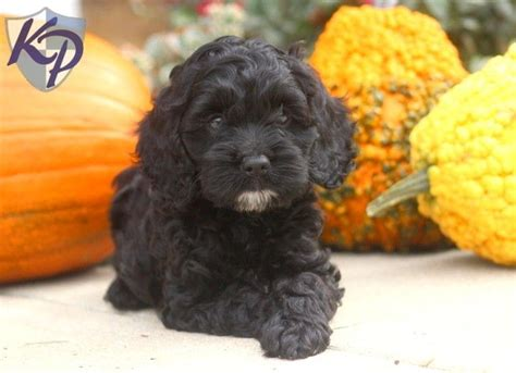 cockapoo puppies for sale in nc hugs cockapoo puppies for sale in pa keystone puppies cockapoo i you