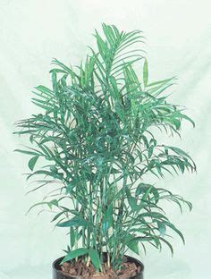 while not a palm this showy plant has large bright green indoor plants low to med light on pinterest green