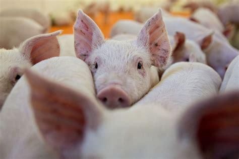 african swine fever outbreak  spread  korea se asia bloomberg