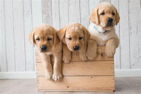 golden retriever puppies wallpaper wallpaper puppies golden retriever hd 4k animals