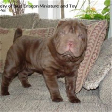 miniature shar pei puppies for sale miniature shar pei puppies for sale