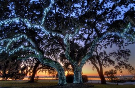 the christmas lights make the oak trees a wonder at night