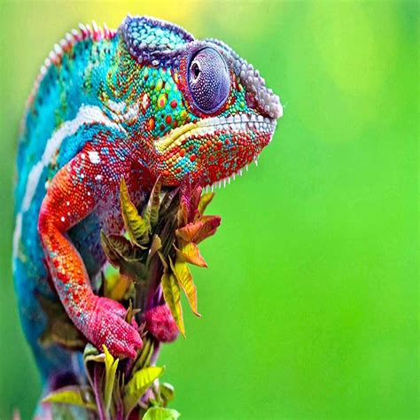 colorful lizard colorful lizard www opendesktop org