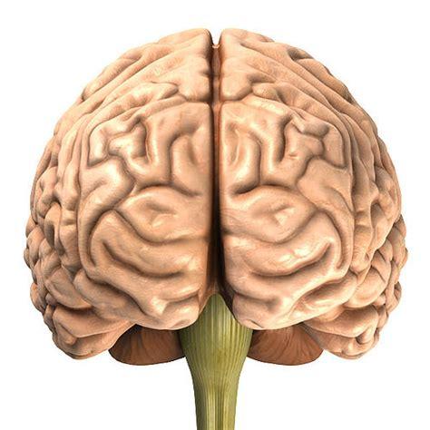 accurate human brain  model obj blend mtl cgtradercom