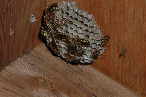 Bees That Make Paper Nests - social wasps and bees in the midwest insects