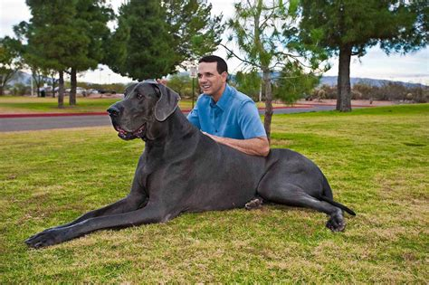 great dane puppies ta great dane dogs breeds pets