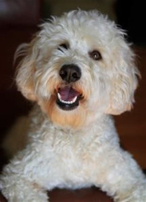 goldendoodle puppy hyper 1000 images about oodles of doodles on