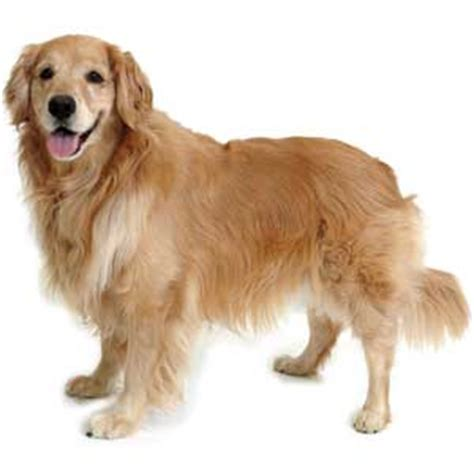 can a golden retriever be a guard golden retriever breed 187 information pictures more