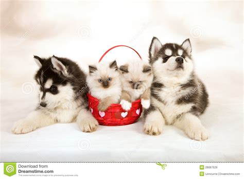 ragdoll puppies kittens and puppies stock image image of husky kitten 28067529