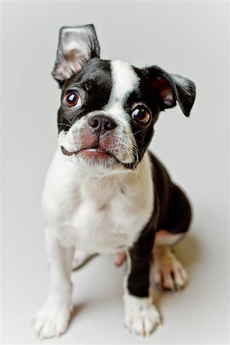 boston terrier puppy pictures boston terrier puppy by square photography