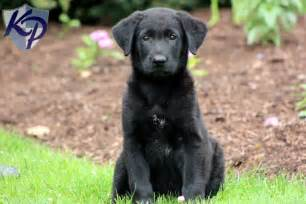 Lab mix puppies for sale in pa keystone puppies