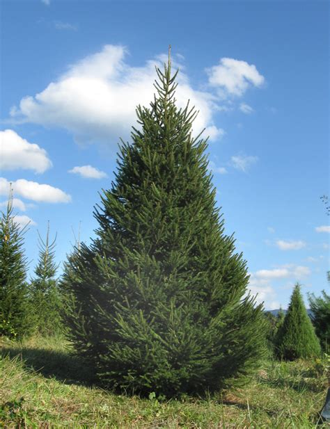 christmas tree news valley star farm