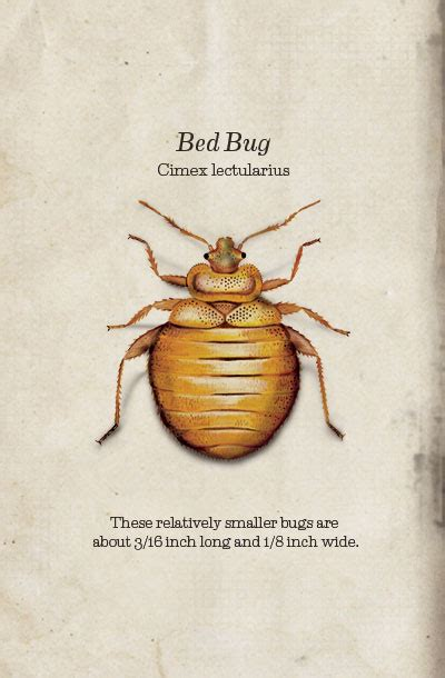 how to inspect for bed bugs is it possible to have one bed bug how to inspect your