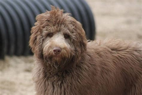 new puppy supply list our recommended puppy supply list aussiedoodle and labradoodle puppies best