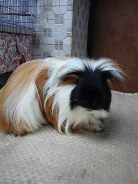 Jenis Kamera Dan Harga jenis dan harga marmut atau guinea pig binatang peliharaan