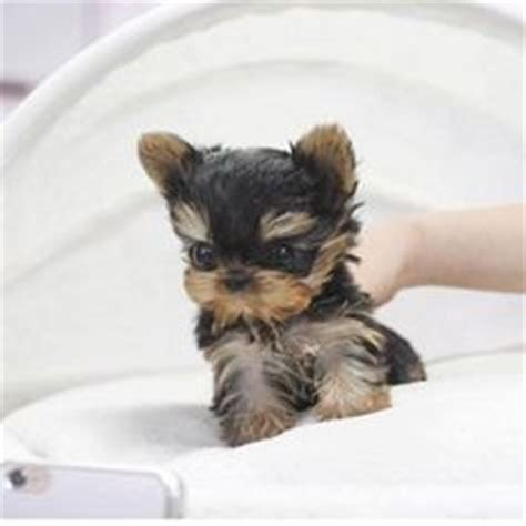 teacup silky yorkie for sale teacup yorkie puppies males females 4 lbs grown is a