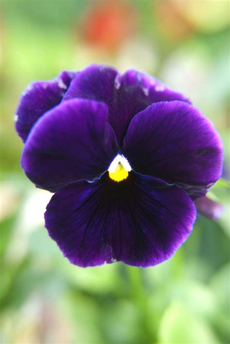 Gamis Purple Flower 1 macro sammy photo