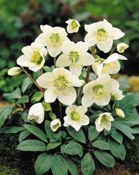 hellebores the enduring mid winter flower