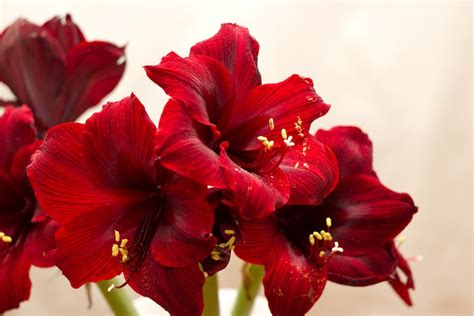 Edible Arrangement by How To Force Amaryllis Bulbs And Use The Fresh Cut Flowers