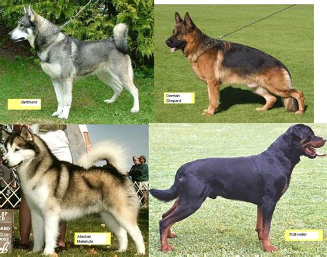 rottweiler vs german shepherd comparison german shepherd vs coyote breeds picture