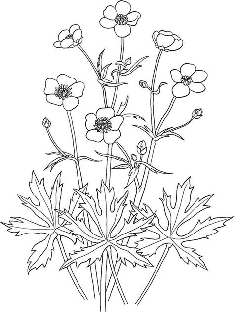buttercup color buttercup flower coloring pages and print