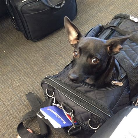 Delta Pet In Cabin by Delta Will No Longer Allow Pets To Fly In Cargo