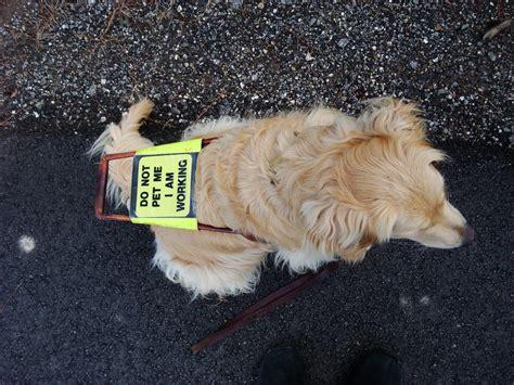 golden retriever guide dogs file guide golden retriever jpg