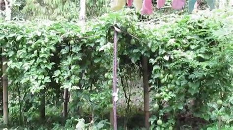 Bibit Markisa Medan cara budidaya markisa ungu passiflora edulis