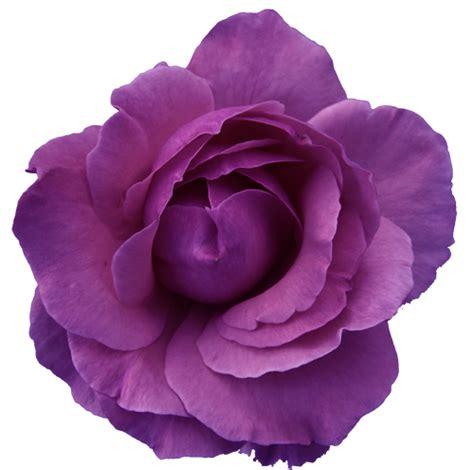 flower rose red purple transparent free images at clker