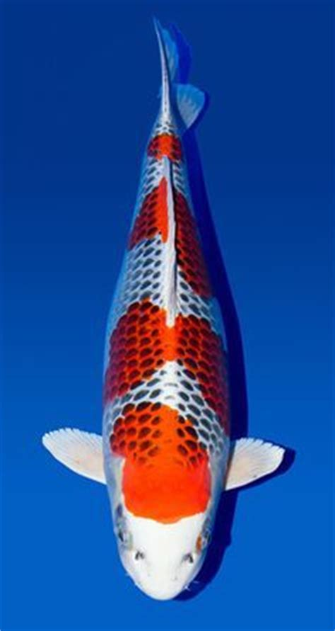care for goldfish in ceramic bowls 25 best ideas about gold fish bowls on