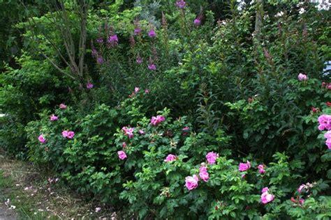 Rosa Rugosa Sorten 2533 rosa rugosa sorten rosa rugosa 39 foxi 39 duftende