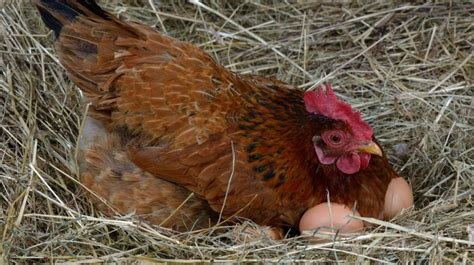egg laying chickens   homestead homesteading