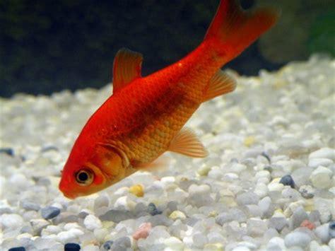 vasca pesce rosso pesci la prima volta acquaportal forum acquario