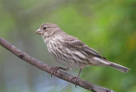 House Finch Female Photo Tom Grey Photos At Pbase Com