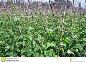 Trellis Plans Pengzhou China Field Of Green Beans Royalty Free Stock