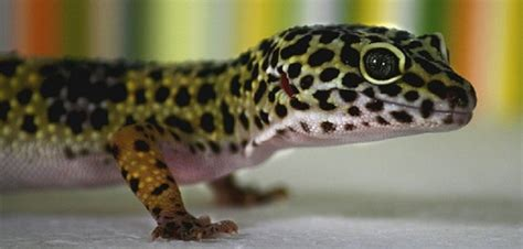 leopard gecko heat l pr 233 sentation du gecko l 233 opard